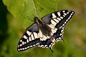Asian butterfly vic foto